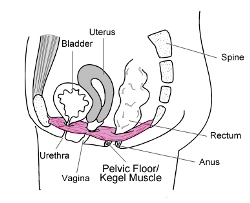 strengthen pelvic floor muscles, how to locate pelvic floor muscles, tighten pelvic floor